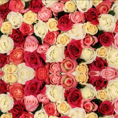 A Rose Designer\'s Selection-assorted colors