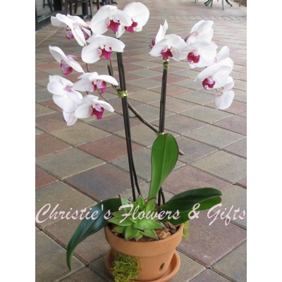 Potted Bi-color Orchid